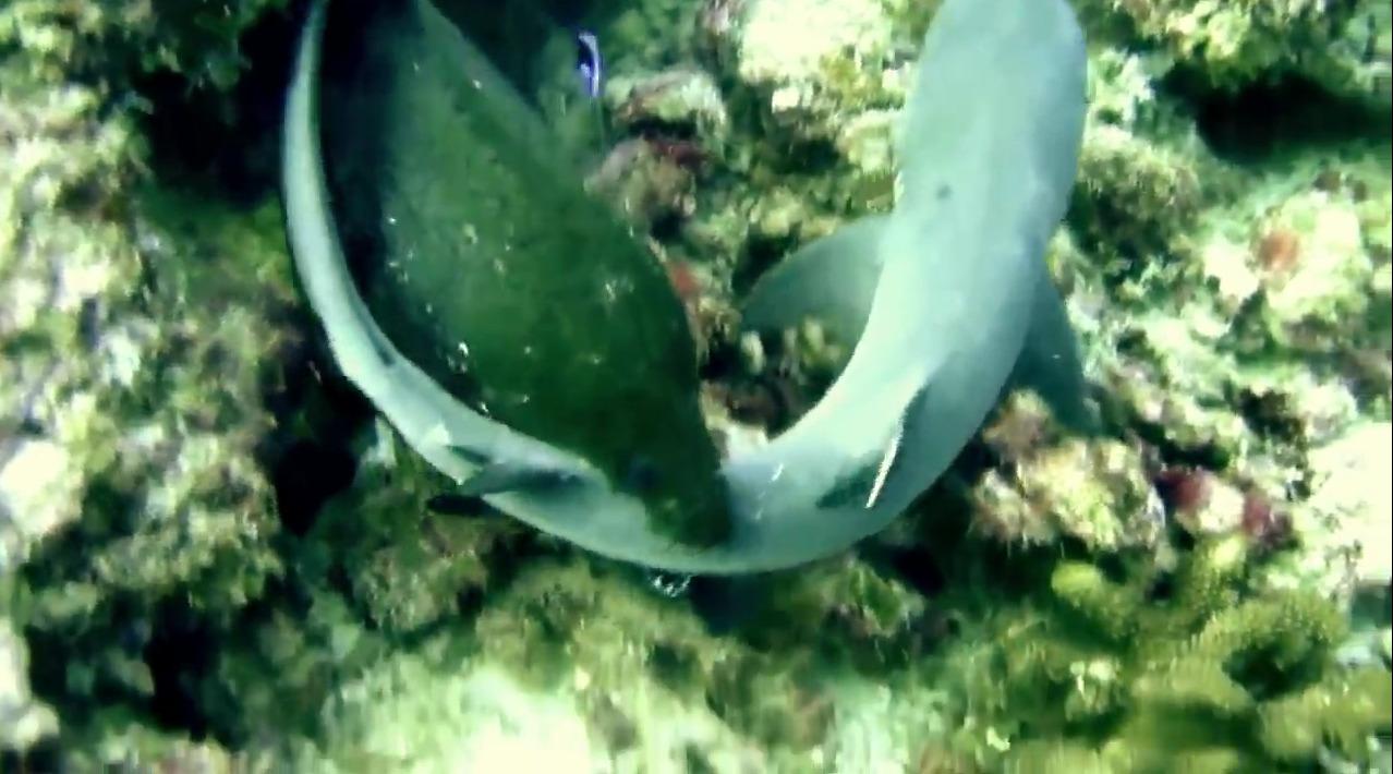 Σμέρνα επιτίθεται και τρώει λευκό καρχαρία