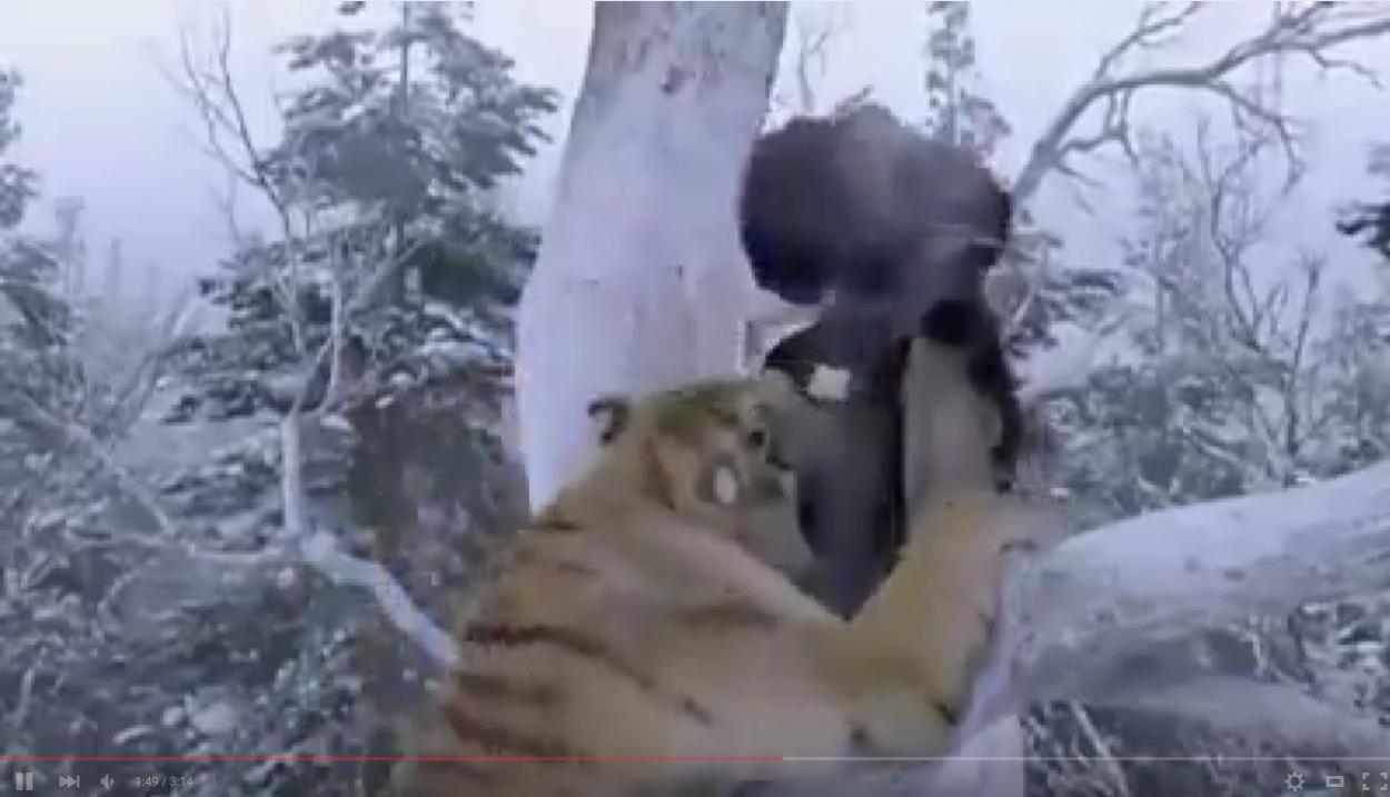 Τίγρης επιτίθεται στα χιόνια