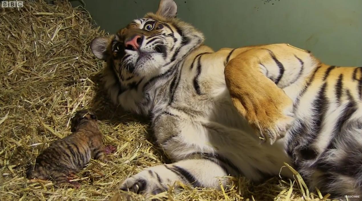 Γέννηση δύο μικρών τίγρεων
