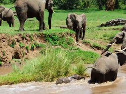Ελεφαντάκι παρασύρεται στο ρέμα