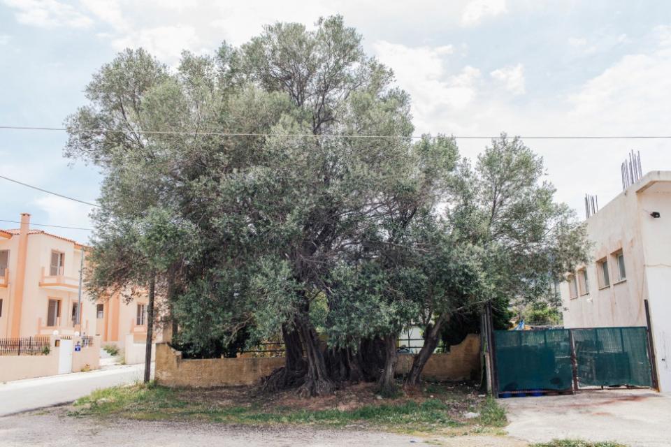 Η συνολική της περίμετρος της ελιάς της Όρσας είναι δώδεκα μέτρα και ο κεντρικός κορμός είναι 5,70 μέτρα.