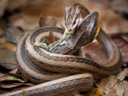 Φίδι εναντίον χαμαιλέοντα