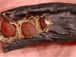 χαρουπιά, Ceratonia siliqua